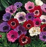 Bolly Bulbs® - Anemone Coronaria (50 Bulbs, De Caen Mixed)