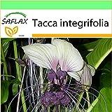 SAFLAX - Garden to Go - Flor murciélago - 10 semillas - Tacca integrifolia