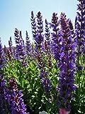 Stauden-Set 'Gartenapotheke' blau blühend für Sonne Garten-Blüten-Salbei im 3 Liter Topf 3 Pflanzen