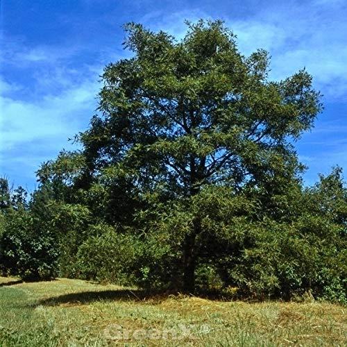 Geschlitzblättrige Eiche Pectinata 80-100cm – Quercus robur