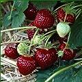 Erdbeeere HUMMI´S®-Aroma- Auslese Hz 25 Stück von Hummel - Erdbeeren - Du und dein Garten