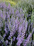 3 PACK (9cm Pots) Heather Calluna vulgaris 'Spring Torch' (Spring Charm) Small Evergreen Garden Shrub