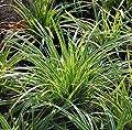 Teppich Japan Segge Ice Dance - Carex foliosissima von Baumschule bei Du und dein Garten