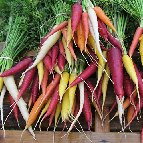 Möhre - Karotte - Rainbow Mix - 200 Samen Ganze Karotten