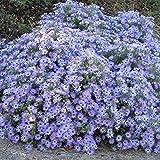 Keland Garten - duftend Rarität Raublatt-Aster 'Purple Dome' reichblühend blau-lila Blütenmeer, Blumensamen Mischung winterhart mehrjährig im Herbst-Beet