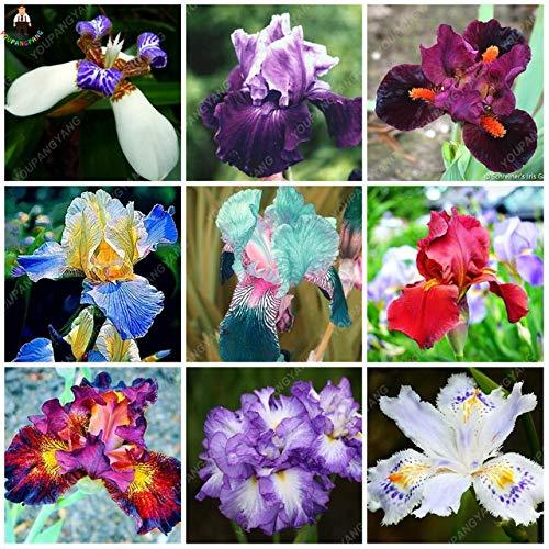 AGROBITS 50pcs Aquatic Iris Blume Schwertlilie Seltene Bonsai Pflanzen Blumentopfpflanzung Natur...