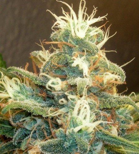 how-to-fast-dry-fresh-cannabis-marijuana-buds