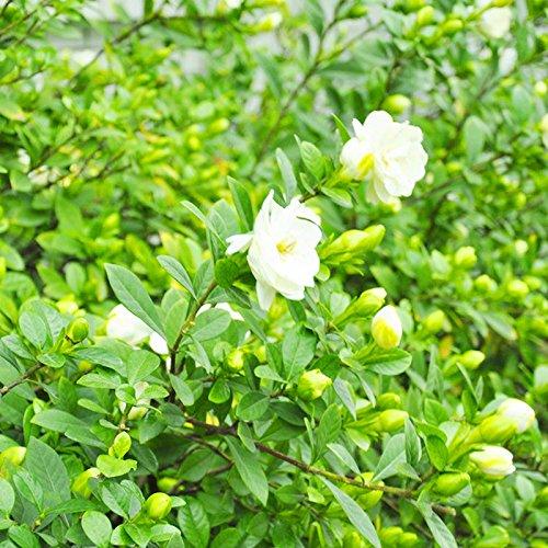 TOPmountain Kap Jasmin Gardenia Samen 50 Stück Duftende Blume Samen Garten Balkon Pflanzen Samen Dekor