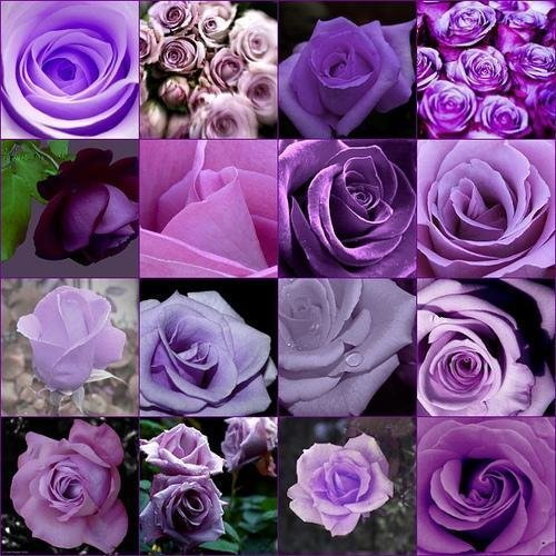Economici rari profumi burpee colori viola rose semi di fiori di semi di giardinaggio domestico polyantha piante da esterno rampicanti giardino