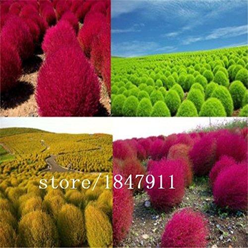 Galleria fotografica SwansGreen Grande vendita di vendita calda 500pcs piante semi Kochia bonsai giardino domestico fai da te di semi di erba