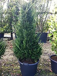 Taxus Baccata (Englische Eibe) Absicherung von Pflanzen, 175 x 5 Pflanzen cm