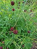 Großer Wiesenknopf (Sanguisorba officinalis) 100 Samen