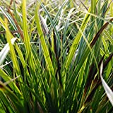 Blumixx Stauden Carex morrowii 'Variegata' - Japansegge 0,5 Liter Topf braun-gelb blühend