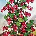 Zierjohannisbeere rosa-rot blühend, 2 Sträucher von Amazon.de Pflanzenservice auf Du und dein Garten