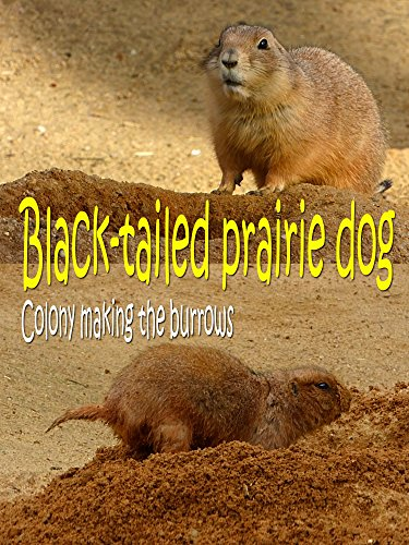 Black-tailed prairie dog. Colony making the burrows [OV] - Black-tailed Prairie Dog