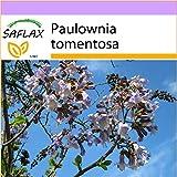 SAFLAX - Blauglockenbaum - 200 Samen - Paulownia tomentosa