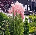 Rosa Pampasgras - Cortaderia selloana Rosea - 1 Pflanze von GardenPalms bei Du und dein Garten