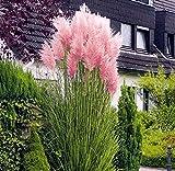 Rosa Pampasgras - Cortaderia selloana Rosea - 1 Pflanze (5 Ltr. Topf)