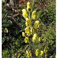 Asklepios-seeds® - 50 Semillas de Aconitum anthora acónito de los Alpes, acónito salutífero, acónito amarillo, antora