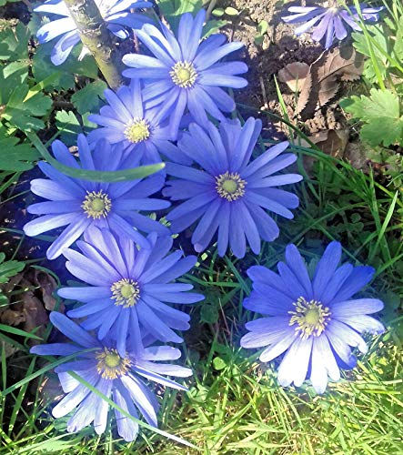 Portal Cool 50 Anemone Blanda Blue Shades Zwiebeln/Knollen