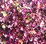 BIO Keimsprossen Radies Rambo purpurviolett 100 g Samen für die Sprossenzucht Saatgut Mikrogrün