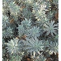 100 impressionnants Magic Seeds graines blanc Sage Salvia Apiana Garden Herb Seeds