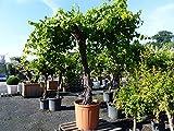 Vitis Vinifera XXL 250-300 cm knorrige Weinrebe Weinstock Weintraube Obstbaum