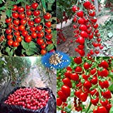 Home Garden Best Deals - Cherry Tomato Tree Seeds,Organic Heirloom Vegetable Fruit Seeds, Sweet and Heathy For Home Garden Planting