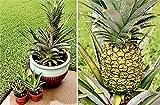 Yukio Samenhaus - Südamerika 100 Stück Ananas comosus Exotische Pflanzen Obst samen