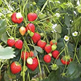 100 Erdbeersamen (Klettererdbeere)