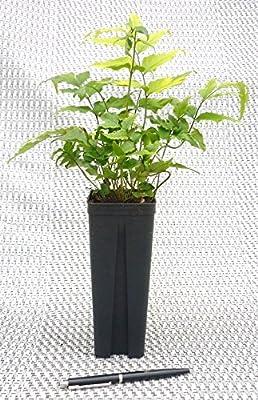 Farne- 5 Stk. Cyrtomium fortunei- Topf: 0,7 ltr. von GardenPalms - Du und dein Garten