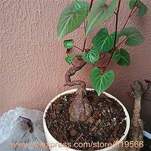 100pcs / bag semi bianchi Yucca, semi di fiori bonsai, piante da esterno, la germinazione tasso del 98%, piante in vaso per il giardino di casa