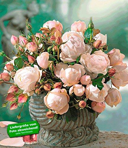delbardr-rosen-der-liebe-madame-figaror-1-pflanze-edelrose