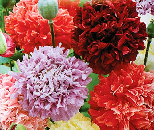Papavero da oppio - mix di fiori doppi; semi di papavero - semi