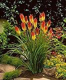 Fackellilie Samen / 100 Stück/Kniphofia uvaria/Raketenblumen / mehrjährig/auffällige Blütenkerzen