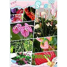 anturios semillas, semillas de anturio baratas del envío libre, flor de Bonsai balcón, anturio en maceta semillas -200 PC / bolso