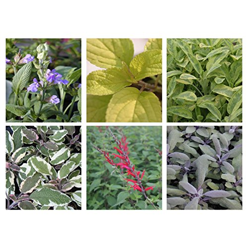 6-sage-starter-plants-collection-3-different-sage-varieties