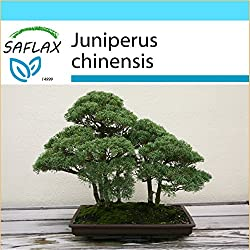 SAFLAX - Geschenk Set - Bonsai - Chinesischer Wacholder - 30 Samen - Juniperus chinensis