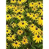 """Rudbeckia fulgida """"Goldsturm"""" - Sonnenhut, 3 Pflanzen"""