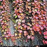 SwansGreen 100 PC/Beutel-Rot, Grün Boston Ivy Seeds 2017 New Ivy Grass für DIY Hausgarten Dekoration Aussen Pflanzen Samen * Sementes Light Green