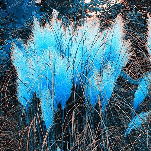 UPSTONE Garten - Amerikanisches Pampasgras Seltene Cortaderia Selloana Blumensamen winterhart mehrjährig, toller Blickfang für Ihren Garten (100, blau)