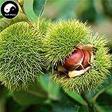 PLAT FIRM Germinazione dei semi: 30g: Acquisto Castanea mollissima Albero semi di piante di castagno per Ginseng Frutta Noci