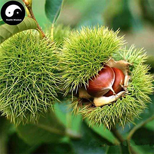 PLAT FIRM KEIM SEEDS: 30g: Kaufen Chinesische Kastanie Baumsamen Pflanze Chestnut Für Ginseng Obst Nuss