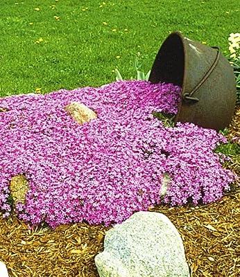 BALDUR-Garten Teppichphlox 'Emerald Pink',winterharter Bodendecker 3 Pflanzen von Baldur-Garten auf Du und dein Garten