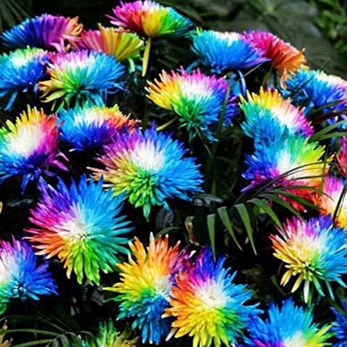 XIYAO Graines de chrysanthème Arc-en-Ciel 20/50/100 Graines, Fleur Plantation De Graines Maison Jardin Plantes en Pot Décor
