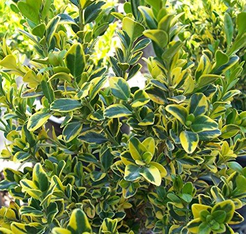 1-pianta-buxus-micr-golden-triumph-vaso-13cm-sempreverdi-e-rampicanti