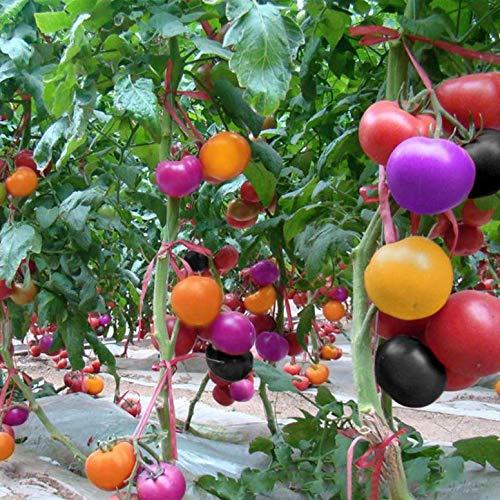 nulala 100 Unids Semillas de Tomate Arco Iris Fruta Vegetal Vegetal Semillas Planta Home Yard Decoración