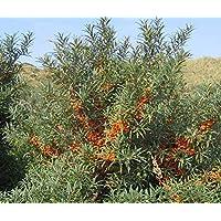 Asklepios-seeds® - 1000 Semillas de Hippophae rhamnoides Espino amarillo, cambrón, escambrón, espino amarillo, espino falso, arto, quitasombreros, quita sombreros, titinera