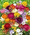 """Freesien- & Ranunkel-Mix """"Butterfly Beauty"""",35 Stück von Baldur-Garten auf Du und dein Garten"""