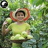 #10: Rare Psidium Guajava Giant Kilo Guava Kg Guava Fruit live Plant (1 Healthy Plant)